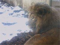 lion1114